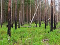 Boreal pine forest 5 years after fire, 2011-07.jpg