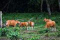 Bos javanicus, (wild) Banteng - Huai Kha Khaeng (20536293581).jpg