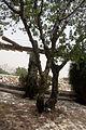 Botanic garden Pistacia atlantica אלה אטלנטית.JPG