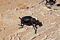 Brachycerus apteries (Curculionidae- Brachycerinae- Brachycerini) 55 mm (36727991884).jpg