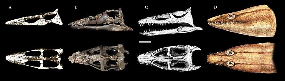 Brancasaurus skull