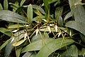 Brassia arcuigera (Orchidaceae) (30529877662).jpg