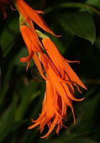 Brassia aurantiaca Orchi 037.jpg