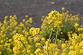Brassica rapa 01.jpg