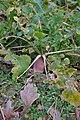 Brassica rapa var. rapa (07).jpg