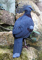 Bristol.zoo.victoria.crowned.pigeon.arp.jpg