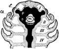 Britannica 1911 Arthropoda - Arachnid head.png