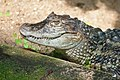 Broad-snouted caiman.jpg