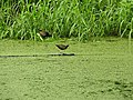 Bronze Winged Jacana-1-AJCBIBG-howrah-India.jpg
