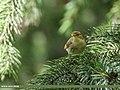 Brooks's Leaf Warbler (Phylloscopus subviridis) (46563212351).jpg