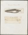 Brosmius brosme - 1700-1880 - Print - Iconographia Zoologica - Special Collections University of Amsterdam - UBA01 IZ14000127.tif