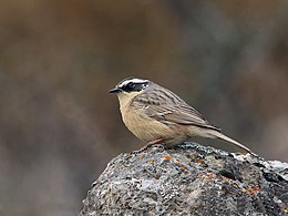 Brown Accentor (Prunella fulvescens) (15709212937).jpg