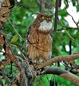 Brown Fish Owl; Ketupa zeylonensis.jpg