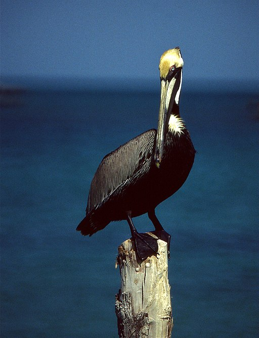 Brown Pelican (Pelecanus occidentalis) (21547005383)
