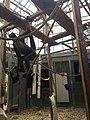 Brown spider monkey zoo ulm.jpg