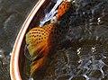 Brown trout Seedskadee National Wildlife Refuge (40140161761).jpg