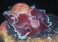 Bubble Snail Rose Petal-Hydatina physis (24572161341).jpg