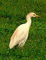 Bubulcus ibis (Garcita del ganado) (14234311844).jpg