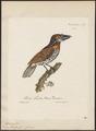 Bucco tamatia - 1825-1834 - Print - Iconographia Zoologica - Special Collections University of Amsterdam - UBA01 IZ16800003.tif