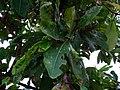 Buchanania axillaris (Cuddapah Almond) 04.jpg