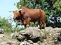 Bull in Mena Zoo; 12.08.19.jpg