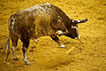 Bull ready to strike in Campo Pequeno.jpg