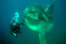 Bump head sunfish.jpg