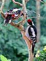 Buntspecht-füttert-jungvogel (retuschiert).jpg