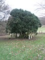 Bushy tree in the churchyard at St Andrew's, Didling - geograph.org.uk - 1125503.jpg