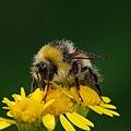 Busy bumble bee (9490479110).jpg
