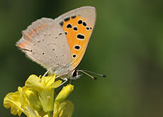 Butterfly Common Copper - Lycaena phlaeas 02.jpg