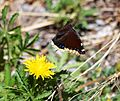 Butterfly Mammoth Lakes (20140420-0046).jpg