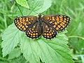 Butterfly Melitaea athalia.jpg
