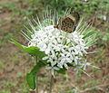 Butterfly visiting Pavetta (5338896745).jpg