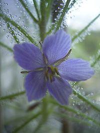 ByblisLinifloraFlora.JPG