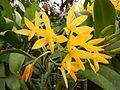 C.Aurantiaca Goldenjf9250 04.JPG