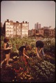 "CITY ""FARMERS"" CULTIVATE THRIVING GARDEN. VOLUNTEERS WERE ASSIGNED THEIR PLOTS BY COMMUNITY ASSOCIATION. THE SQUARE... - NARA - 551620.tif"