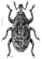 COLE Curculionidae Mesoreda brevis.png