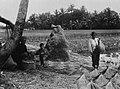 COLLECTIE TROPENMUSEUM Het drogen van de rijst of padie Java TMnr 60020383.jpg