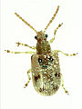 CSIRO ScienceImage 2318 An Adult Bridal Creeper Leaf Beetle.jpg