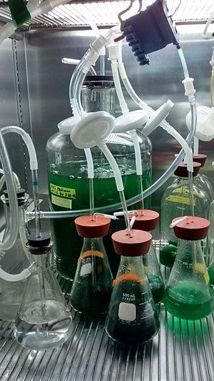 Cyanidioschyzon merolae - Image: C merolae culture