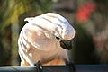 Cacatua moluccensis -Monkey Zoo Park -Tenerife-6b.jpg