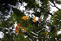 Caesalpinia pulcherrima 20zz.jpg