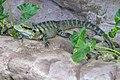 Cairns Water Dragon-1 (11971205575).jpg