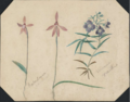 Caladenia carnea, Veronica gracilis by Susan Fereday.png