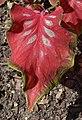 Caladium 'Sangria' Leaf.JPG