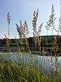 Calamagrostis epigejos sl5.jpg
