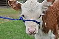 Calf portrait, Meadowbrook Farm.jpg