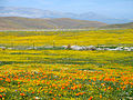 California Poppies and Acton Daisies (2371593467).jpg
