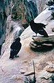 California condors at Sespe Sanctuary, early 1970s (26252780453).jpg